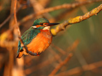 Female Kingfischer on a branche (Kingfisher)