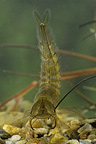 Larvae Great diving beetle swimming in a little pond  spring