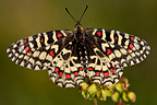 Spanish Festoon butterfly at spring France