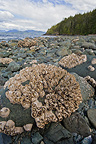Barnacle at low tide Johnstone strait Canada