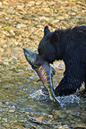 Black bear fishing a chum in a river in Alaska (Black bear)