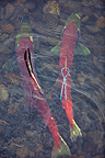 Couple of Sockeye Salmon spawning in a river Canada (Sockeye salmon )