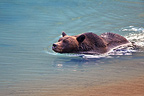 Grizzly swimming in a small glacial lake blue in Alaska (Grizzly bear)