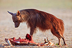Brown hyena eating a Springbok Kalahari Gemsbok NP RSA (Brown hyena)