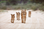 Lioness and its cubs on a trail Kalahari Gemsbok NP RSA (African lion)