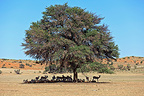 Springbok and Wildebeest sheltering in the shade of a tree in RSA (Springbok; Wildebeest)