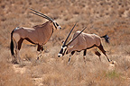 Confrontation between two Oryx in the Kalahari Desert RSA (Gemsbok )