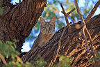 African wild cat watching from the top of a tree RSA (African Wildcat)