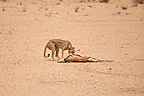 Cheetah captured a Springbok Kalahari desert in RSA� (Cheetah)