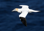 Gannet in flight at spring Scotland (Northern Gannet)