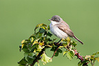 Lesser whitethroat on a branch of bramble at spring England (Hume's Lesser Whitethroat)