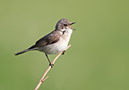 Lesser whitethroat singing at spring England (Hume's Lesser Whitethroat)