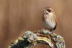Female Reed bunting perched on a branch in winter GB (Reed bunding)