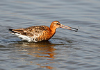Black tailed godwit feeding in the water at spring England (Black tailed godwit)