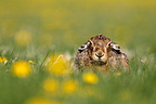 Brown hare resting in the grass at spring England (European Hare )