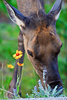 Female elk grazing in the middle of yellow flowers in Canada (Elk)