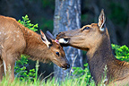 Female elk licking its fawn Canada (Elk)