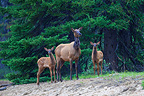 Wapiti female with two fawns in the forest in Canada (Wapiti  (Elk))