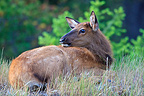 Wapiti fawn lying in the grass Canada (Wapiti  (Elk))