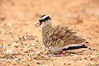 Crowned Lapwing nesting on the ground Kalahari RSA (Crowned Lapwing)