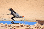 Secretary bird drinking, Kalahari, Gemsbok, National, Park, South Africa