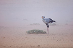 Secretarybird in a sandstorm in the Kalahari Gemsbok NP, South Africa
