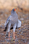 Pale chanting-goshawk looking around the sky Kalahari Desert (Pale Chanting-Goshawk)
