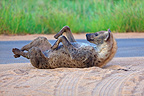 Spotted hyena on his back to scratch PN Kruger RSA� (Spotted Hyena)