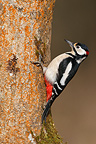 Male Great spotted woodpecker perched on orange tree trunk (Great spotted woodpecker)