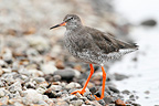 Redshank standing on gravel in winter Norfolk GB (Redshank)