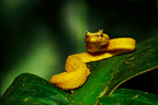Yellow Eyelash Viper Bijagua region Costa Rica (African rock python)
