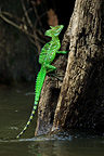 Plumed Basilisk out of the water Ca�o Negro Costa Rica