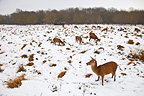Red deers in a clearing in the winter Spain (Red deer)