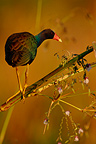 Yellow-legged Gallinule eating flowers in Costa Rica (Yellow-legged Gallinule)