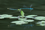 Mating of goblet marked Damselflies Allier France
