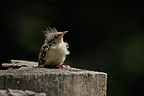 Young Common Treecreeper the day of first flight Switzerland (Common Treecreeper)