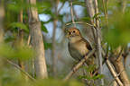 Rufous Nightingale singing in a shrub in Switzerland (Rufous Nightingale)