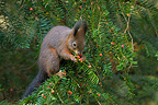 Red Squirrel eating fruits of english yew in Switzerland (red squirrel)