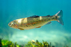 Rainbow trout in the Sorgue's River Vaucluse France (Rainbow trout)