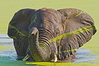 African Elephant covered of algaes taking bath South Africa (African elephant)