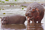 Hippopotamus adult with a young drinking South Africa (Hippopotamus)