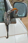 Yellow billed hornbill intrigued by his reflection Africa (Yellow billed hornbill)