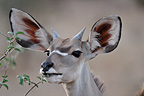 Greater Kudu eating the leaves of a shrub Kenya (Kudu)