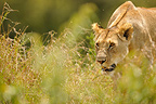 Portrait of Lioness walking in the savannah Kenya (African lion)