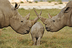 Young White Rhinoceros between its parents Lake Nakuru NP (White rhinoceros)