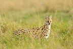 Serval licking their chops Masai Mara NR in Kenya (Serval)