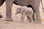 New born elephant in the Etosha NP in Namibia (African elephant)