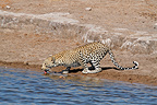 Leopard drinking from a waterhole Etosha NP in Namibia (African leopard)
