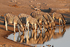 Zebras drinking at a waterhole Etosha NP in Namibia (Burchell's zebra )