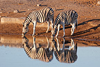 Zebras drinking at sunrise at a waterhole Etosha NP Namibia (Burchell's zebra )
